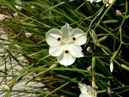 white flower stock 01 by hp-abrasion