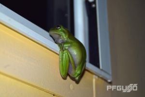 Green Frog On The Windowsill [SHOT 1] by pfgun0