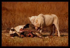 A different type of Lion... by Ubhejane
