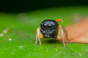 Pystira Ephippigera Jumping Spider with Tick by melvynyeo