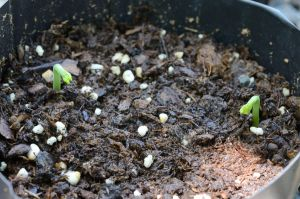 Texas Ebony sprout pair Day 6 by lamorth-the-seeker