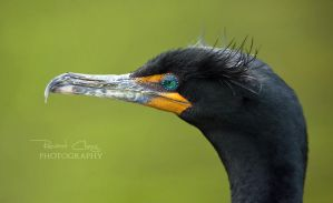 Double-Crested Cormorant by RHCheng