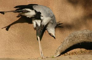Secretary Bird by oOBrieOo