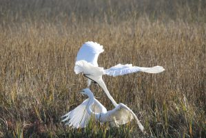 Mortal Combat: Great Egrets 2 by Shadow848327