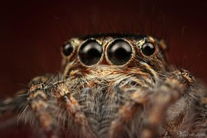 Jumping Spider by AlHabshi
