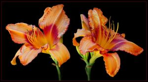 TWO DAY LILLIES by THOM-B-FOTO