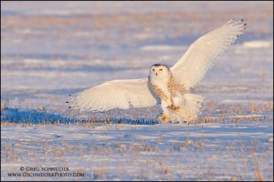 Snowy Owl landing at sunset by gregster09