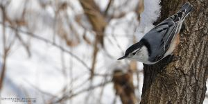 White-breasted Nuthatch by Chelsey-Dunn