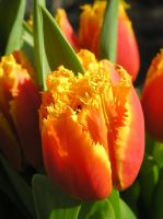 Fringed Tulip by CASPER1830
