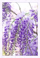 Wisteria by thepailleur