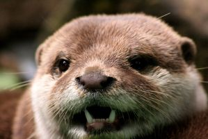 Otter Close Up by Ubhejane