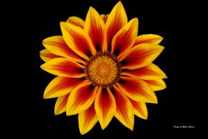 Gazania by Mark-Allison