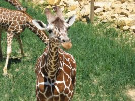 Giraffes by Lily-Marie