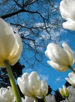 White Tulips and Tree 2 by Obey-the-soapbubble
