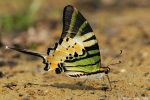 Five bar Swordtail butterfly by garion
