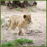 Little Lion 7 by Globaludodesign