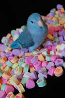 Parrotlet Valentine by vampirate777