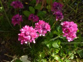 Sea Pink or 'Thrift', Front Garden by SrTw