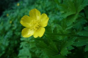 Buttercup by Renire-Stock