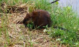 Streamside Muskrat by natureguy