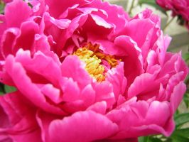 Pink Peony by jewels4665