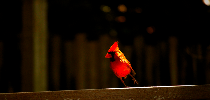 Cardinal by Cooperphoto