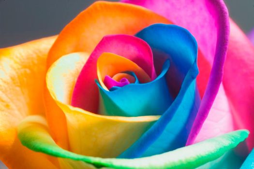 The Perfect Rainbow Rose by RAINBOWedROSES