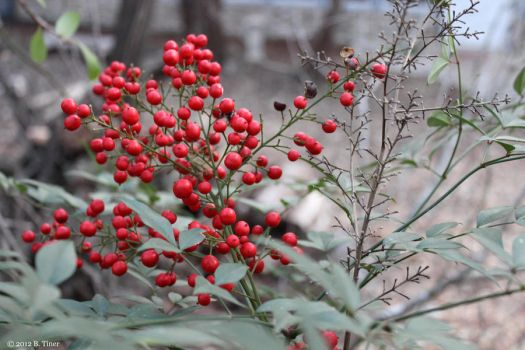 Red Berries on a Winter's Day 2 by bltshop