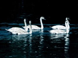 young swans in night by danamis
