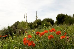 Amapolas by SuperStar-Stock