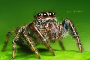 Jumping Spider by karman87