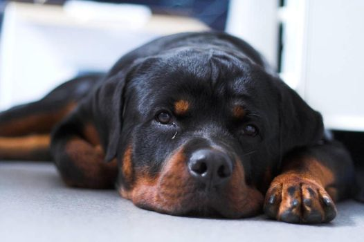 Tired ADHD rottweiler by Timosetae
