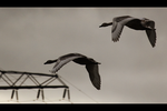 Flying gooses by cs4pro