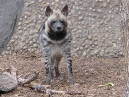 Striped hyena by Wolved