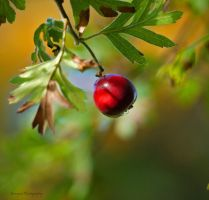 red berry,.... by burcyna