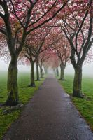 Cherry Trees in the Mist by XY75MQ