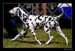 Dalmation by StrictlyCanine-SI