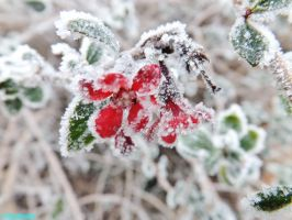 Frosty Red Petals by IamNasher