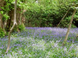 Bluebell carpet... by chop-stock