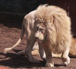White Lion Stock 9 by HOTNStock