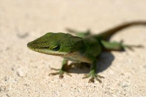 Green Anole by tigeress66
