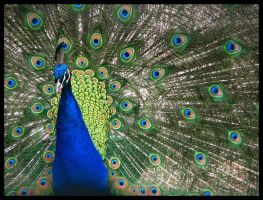 peacock by Madirakshi