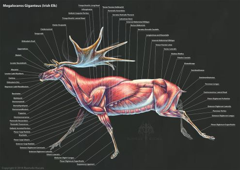 Megaloceros Giganteus Muscle Study by TheDragonofDoom
