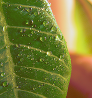 Leaf with water droplets by Irkis