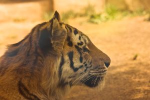 Wup 15 . Tiger by Dark-Wolfs-Stock