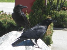 Crows by fixinman