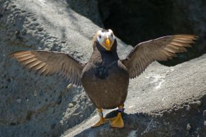 Puffin with Wings Spread by happeningstock