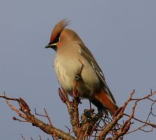 Bohemian Waxwing by NurturingNaturesGift