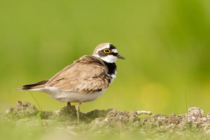 ...And the Little Plover adult by thrumyeye