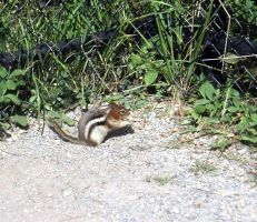 Colombian Ground Squirrel by Child-of-Minerva